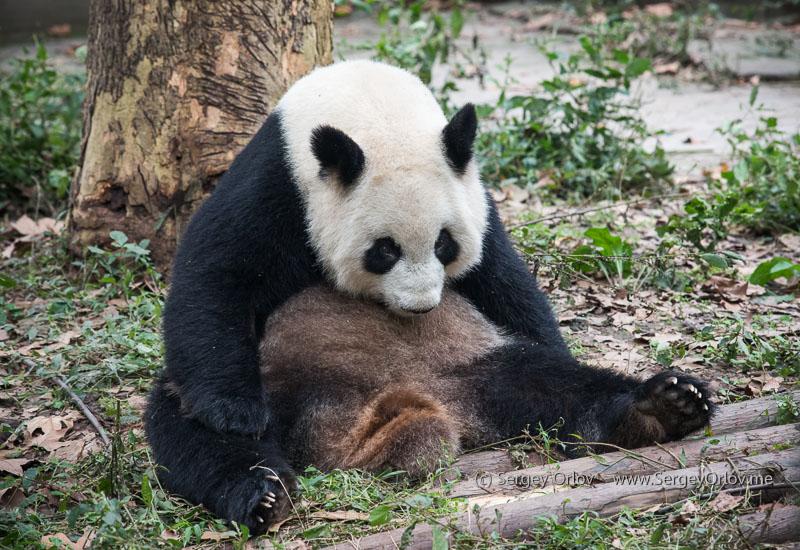 Очень уставшая от жизни панда