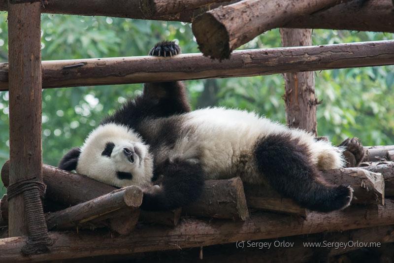 Панда, наслаждающаяся жизнью