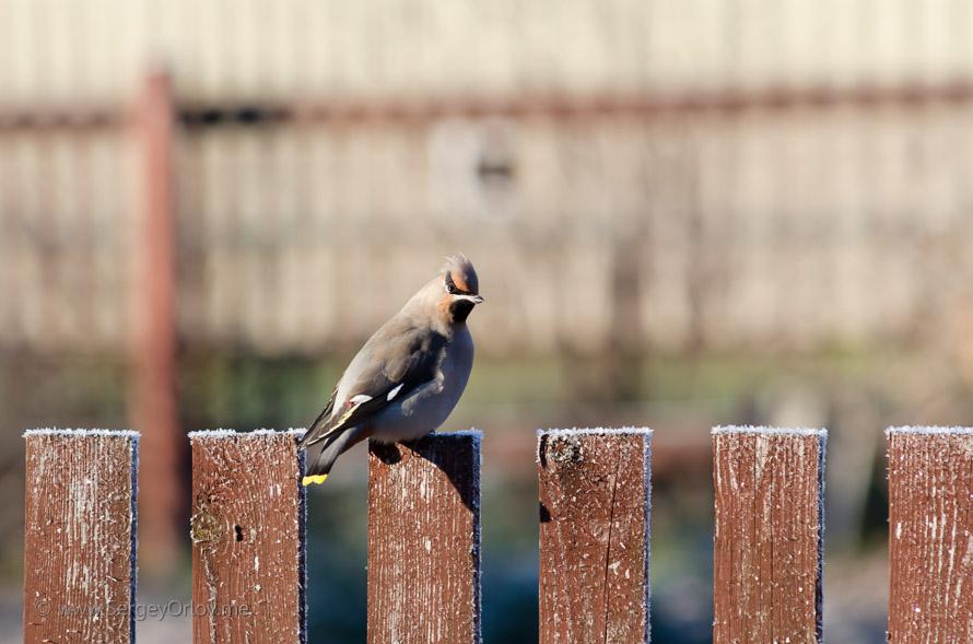 Крупный план забавного свиристеля, сидящего на заборе в осеннем саду