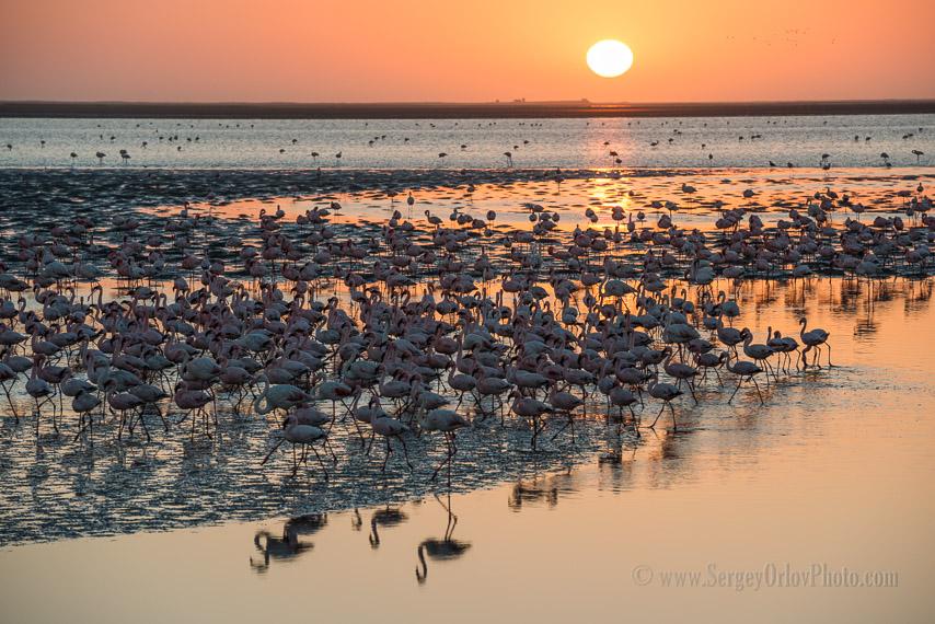 Большая стая фламинго движется вдоль отмели на фоне заходящего солнца